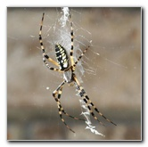 Banana Spider & Wasps Pictures