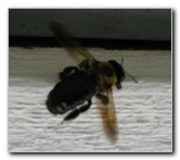 Carpenter Bee Insect Pest Control Guide