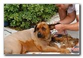 Great Dane Bull Mastiff Dog Shaved