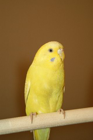 Parakeet-Pet-Birds-13