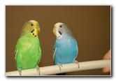 Parakeet Pet Birds - Nikon D100 Pictures